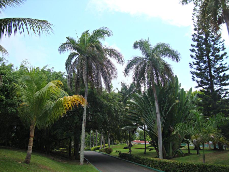Ocho Rios Palm Trees